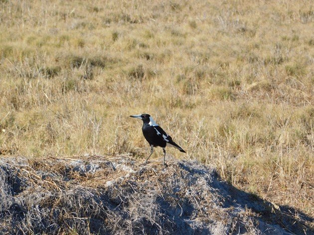 Australian Magpies in Broome