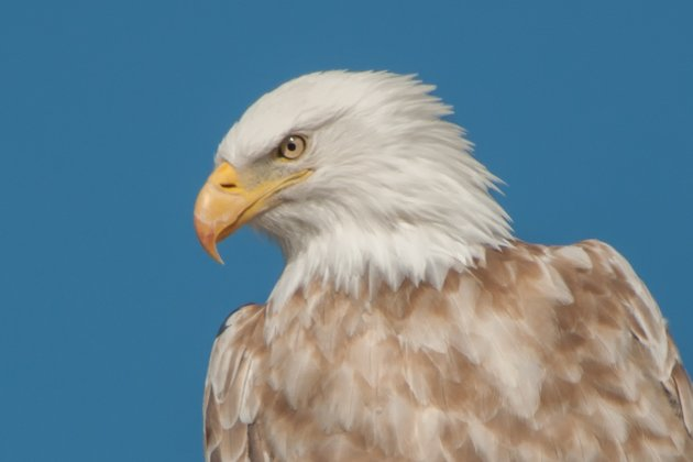 Bald Eagle Leucistic