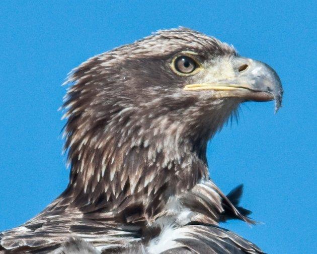 Bald Eagle Sub-adult
