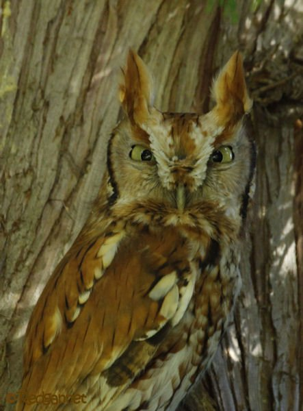 bos-05oct16-eastern-screech-owl-03