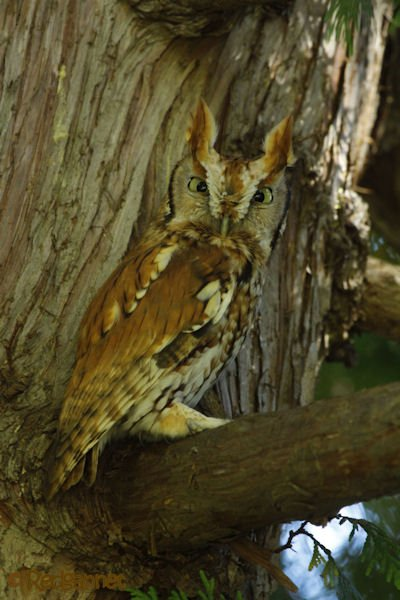 bos-05oct16-eastern-screech-owl-04
