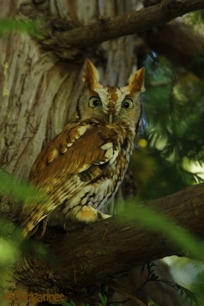 bos-05oct16-eastern-screech-owl-06