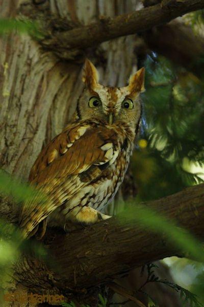 bos-05oct16-eastern-screech-owl-06