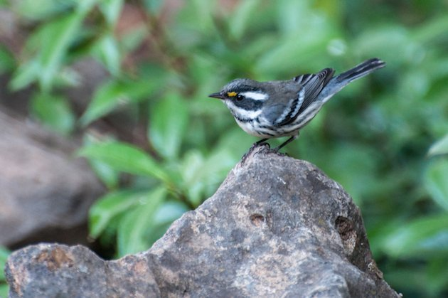 Black-throated Gray Warbler Male