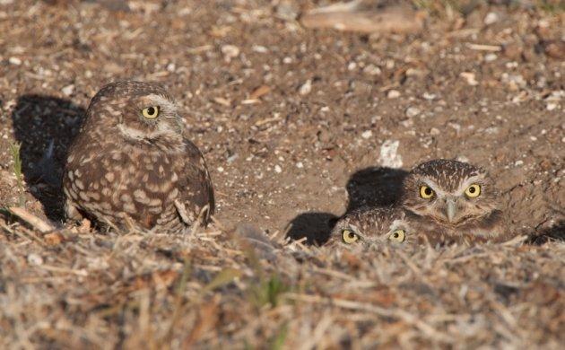 Burrowing Owls in Burrow