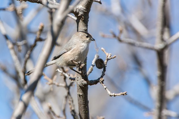 Bushtit Male Collecting Nesting Material