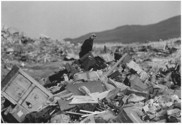 Bald eagle perched on rubbish