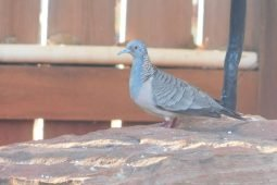 Bar-shouldered Doves in Broome