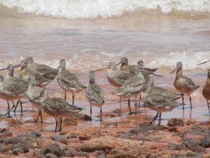 Bar-tailed Godwits (2)