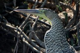 Birding Acapulco