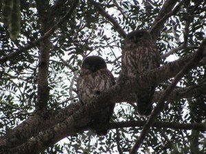 Barking Owls (3)