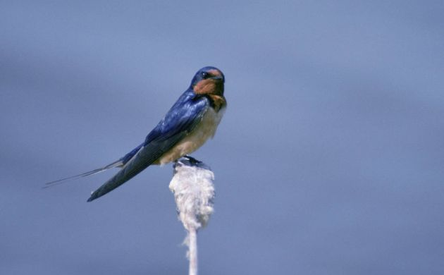 Barn Swallow by David Menke, USFWS