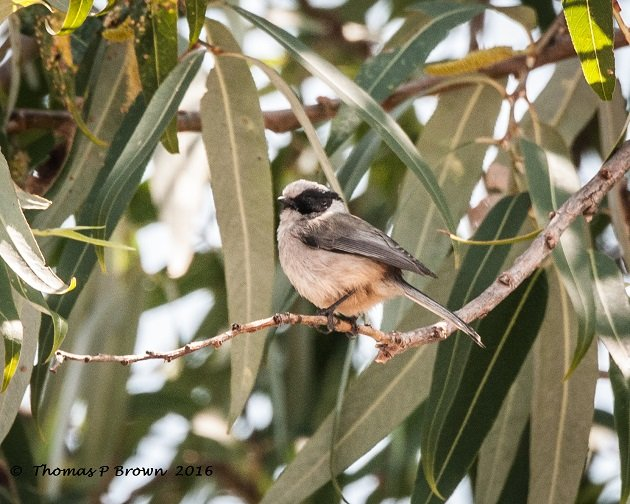 black-earred-bushtit-1