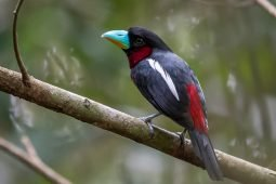 Birding Taman Negara, or the dubious joys of rainforest birding