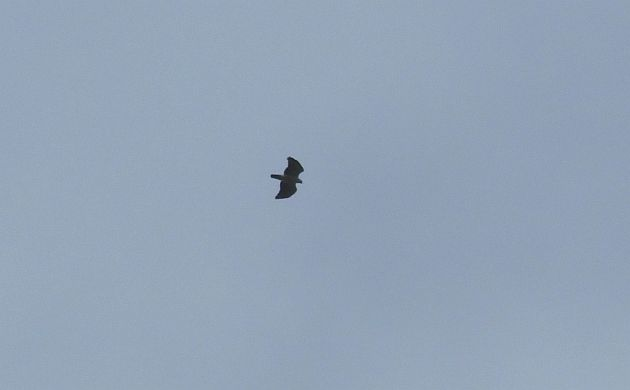 black-and-white-hawk-eagle