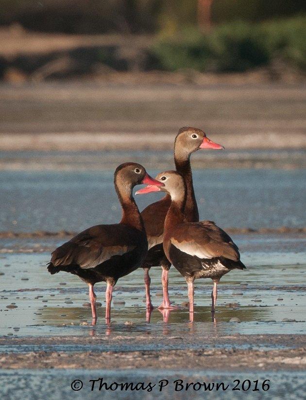 black-bellied-whistling-tree-duck
