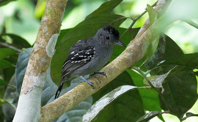 black-crowned-antshrike
