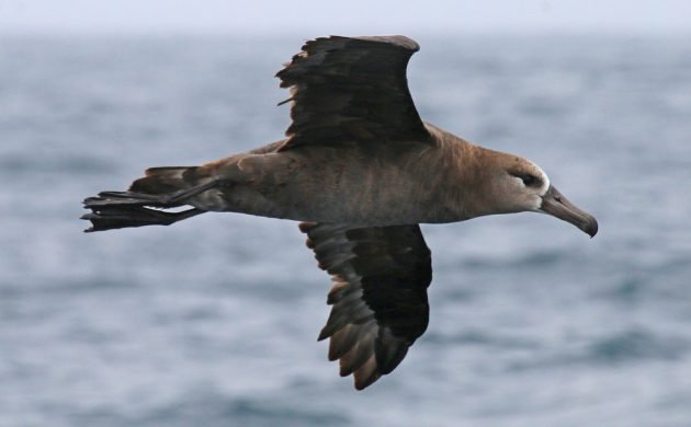 black-footed-albatross