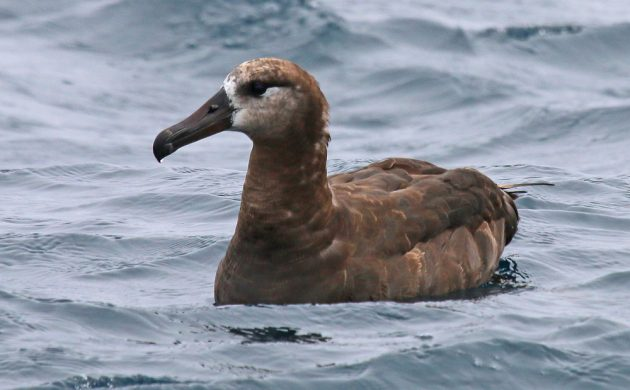 Black-footed Albatross on the water