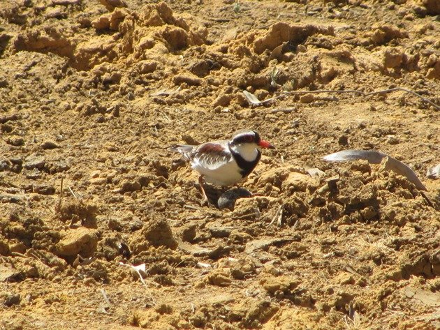 black-fronted-dotterel-with-eggs-2