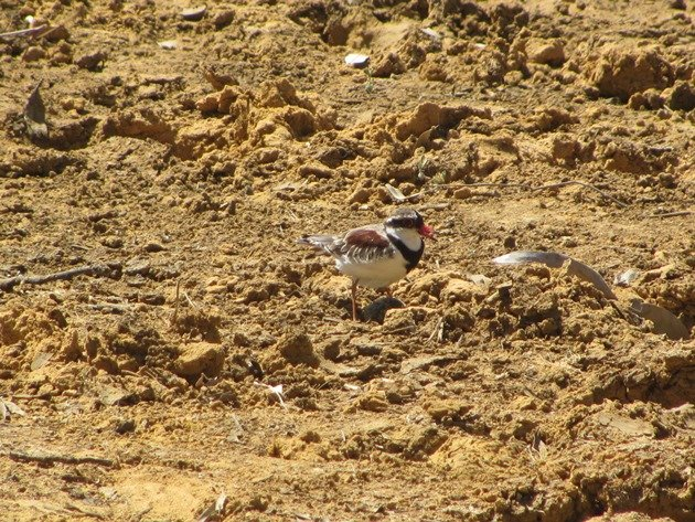 black-fronted-dotterel-with-eggs-3