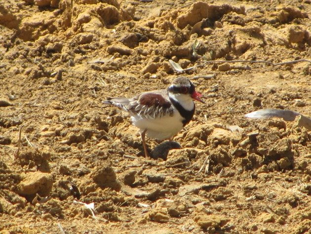 black-fronted-dotterel-with-eggs-4