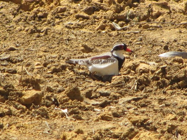 black-fronted-dotterel-with-eggs-6