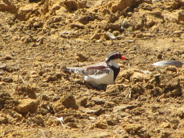 black-fronted-dotterel-with-eggs-7