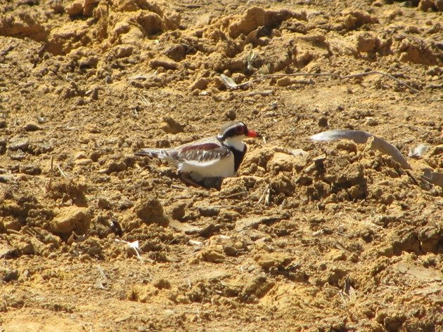 black-fronted-dotterel-with-eggs-8