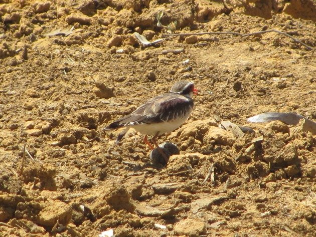black-fronted-dotterel-with-eggs