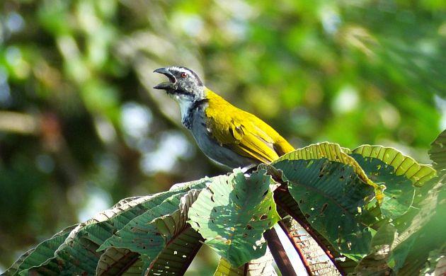 Black-headed Saltator beak