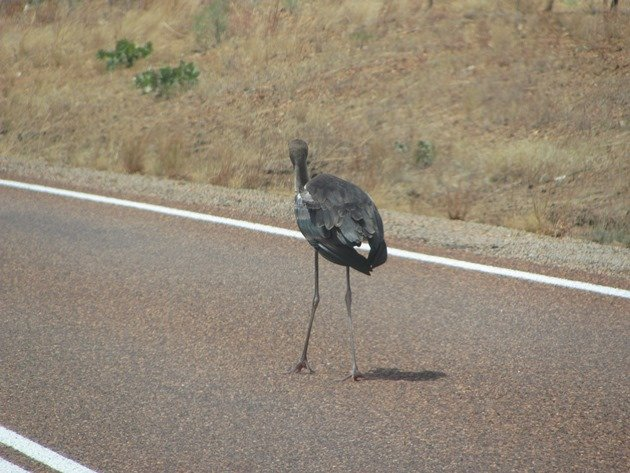 black-necked-stork-on-the-highway-2
