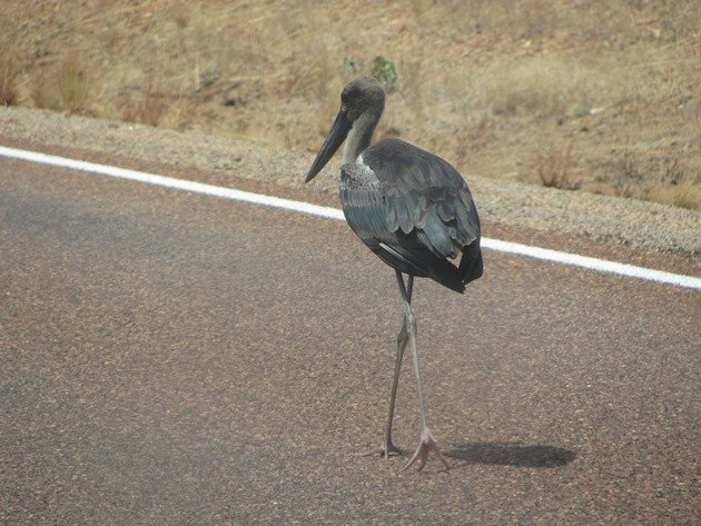 black-necked-stork-on-the-highway-3