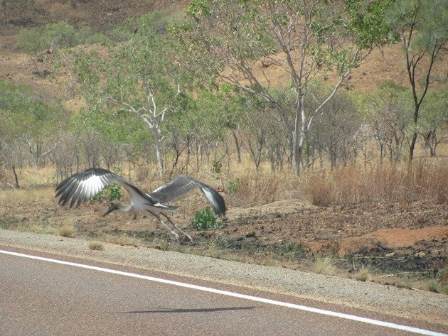 black-necked-stork-on-the-highway-6