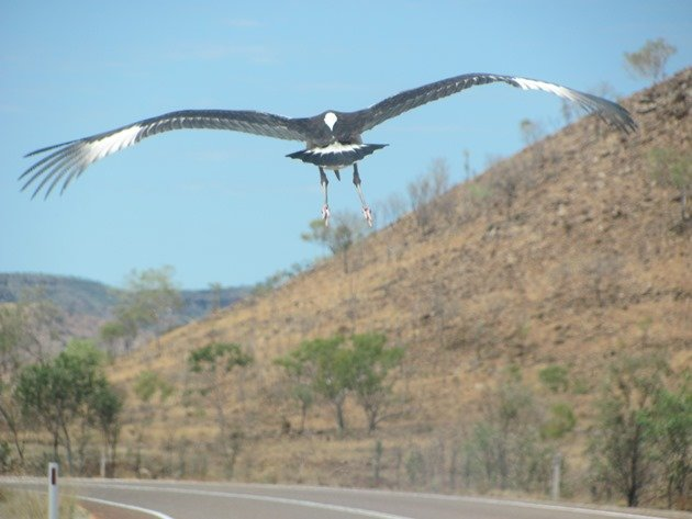 black-necked-stork-on-the-highway-8