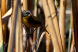An unexpected Yellowthroat