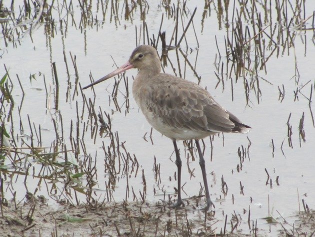 black-tailed-godwit-2