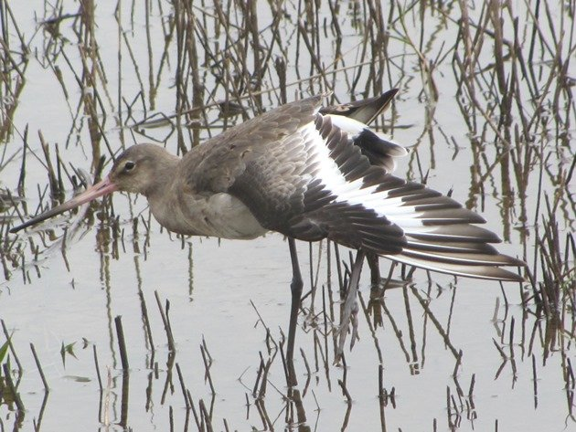 black-tailed-godwit-3