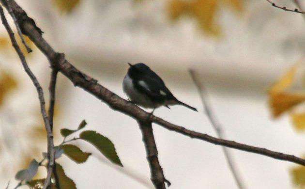 black-throated-blue-warbler