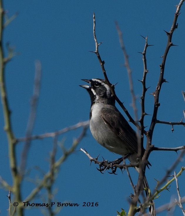 black-throated-sparrow