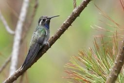 Blue-throated Frenzy