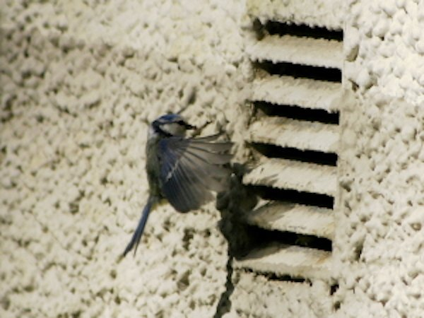 Blue tit approaches a nest behind a vent with food
