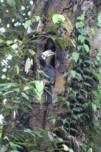 hornbill nesting hole