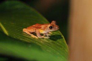 Frog at Danum