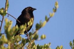 The Dracula Bird