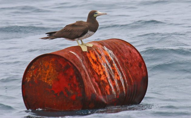 Brown Booby on a barrel