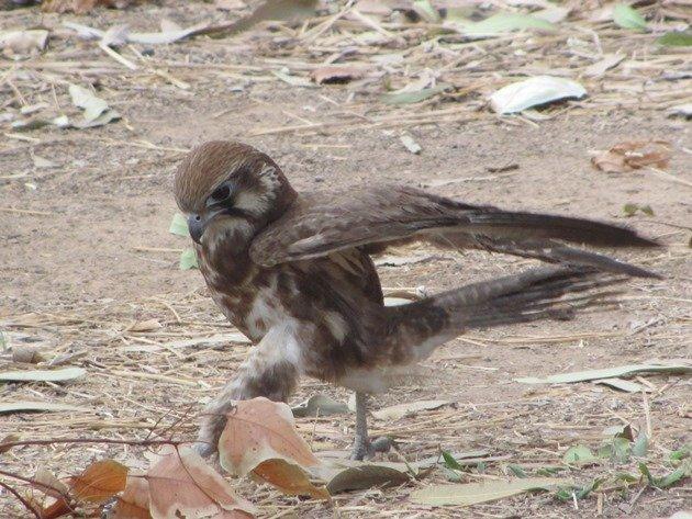 brown-falcon-foraging-11