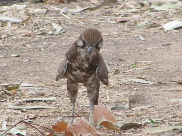 brown-falcon-foraging-12