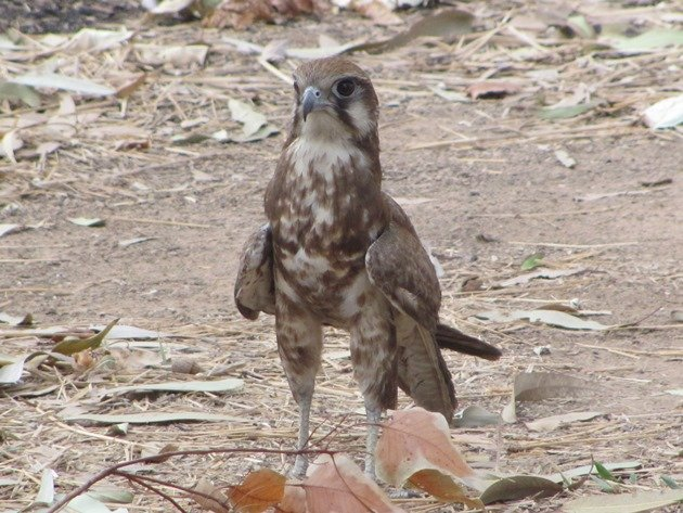 brown-falcon-foraging-13
