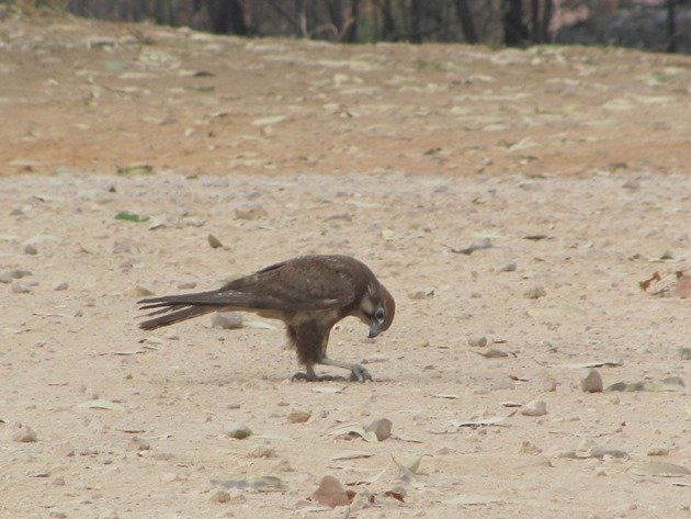 brown-falcon-foraging-2
